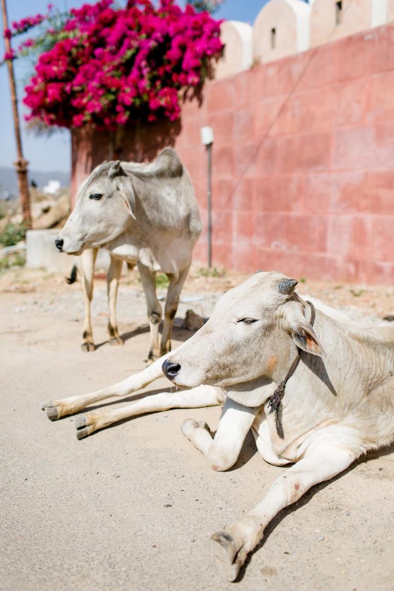 Trouwen in India Udaipur - Hindoestaanse Bruiloft